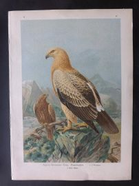 Naumann & Keulemans C1890's Folio Bird Print. Greater Spotted Eagle 5-47